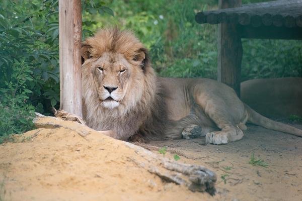 ВПензенском зоопарке скончался девятнадцатилетний лев Симба