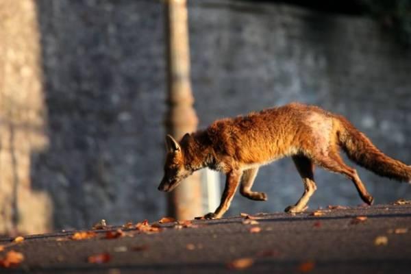 Пензенцев пугает лиса, которая гуляет вАрбеково