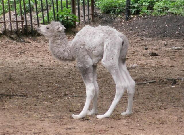 Впензенском зоопарке насвет появился верблюжонок